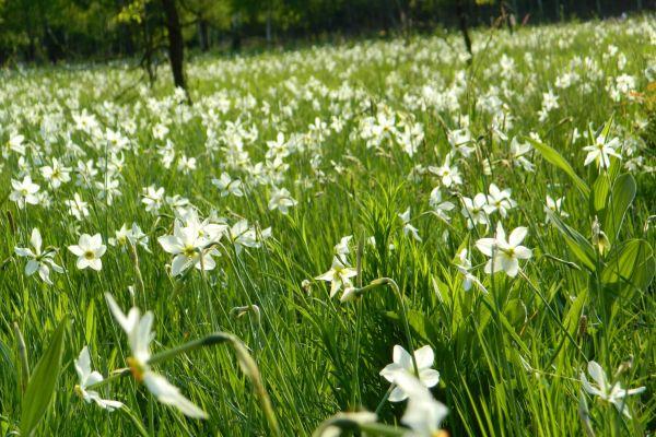 Osorhei daffodil forest