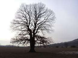 Rakoczi's oak