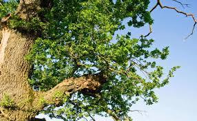 Bornis Dragomiresti Secular Oak
