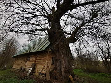 The oldest living tree in Transylvania