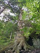 The Urias Tree
