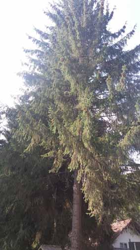 Resonant spruce