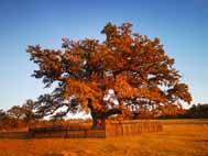 The Oak of Merchesa