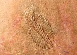 The fossiliferous place Valea Desului