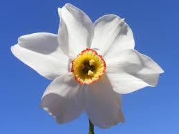 Caras Severin daffodil meadow