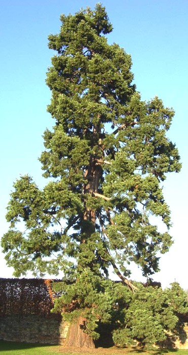 The Zmeu Tree