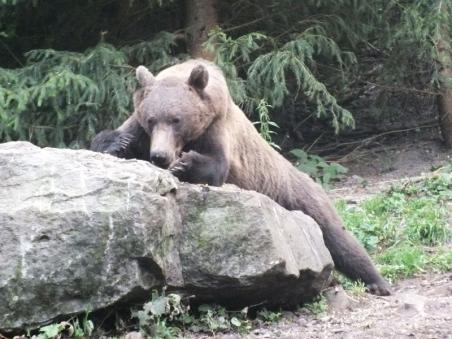 Watching the bear