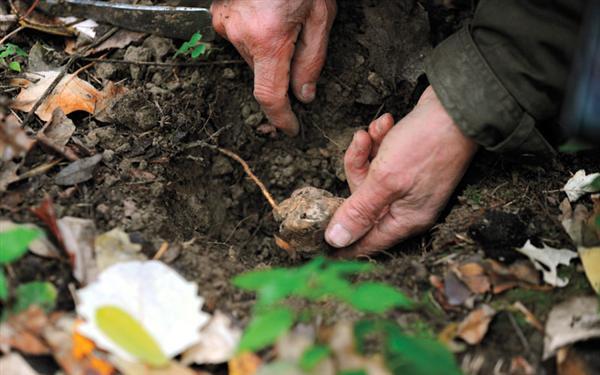 Picking truffles