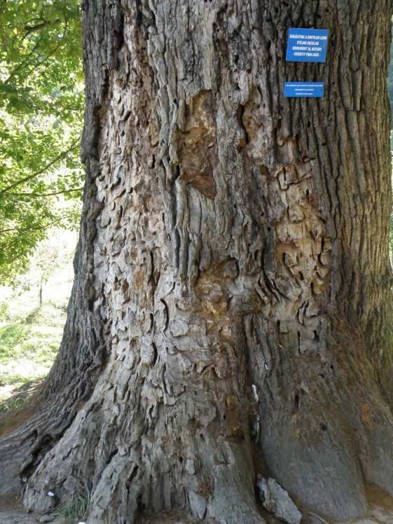Century-old Oak
